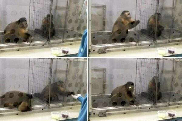 Capuchin monkeys revolt over uneven pay.